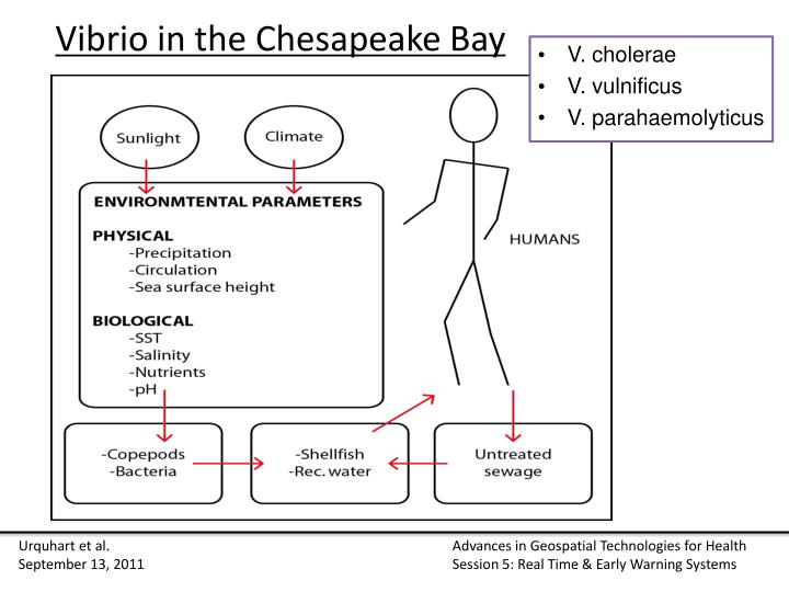 Vibrio in the Chesapeake Bay