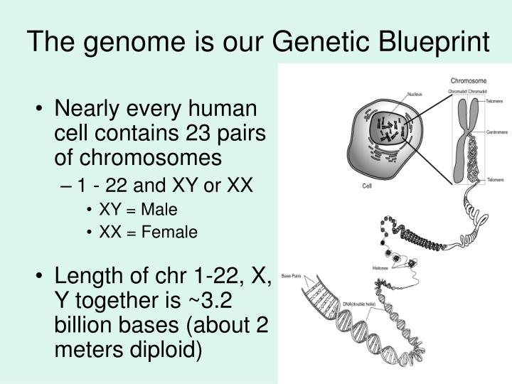 The genome is our genetic blueprint