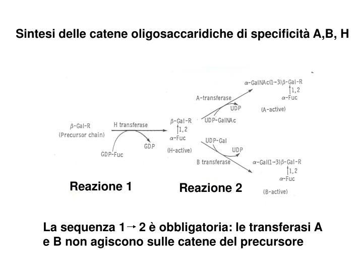 Sintesi delle catene oligosaccaridiche di specificità A,B, H