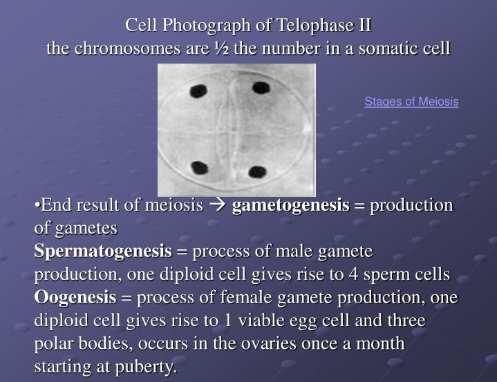 Cell Photograph of Telophase II