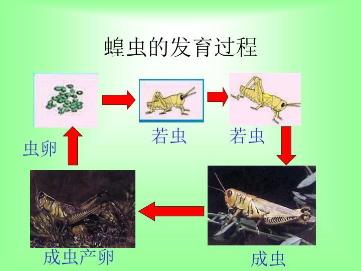 蝗虫的发育过程