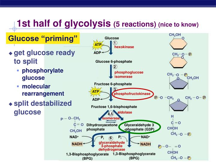 1st half of glycolysis