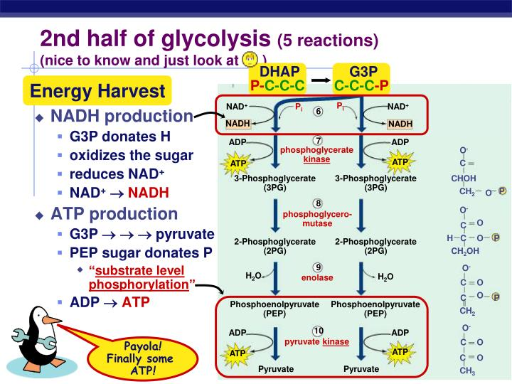 2nd half of glycolysis