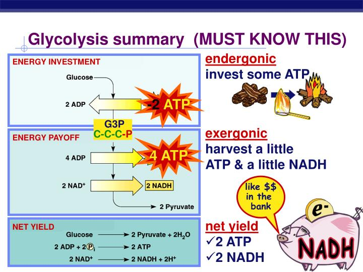 Glycolysis summary  (MUST KNOW THIS)