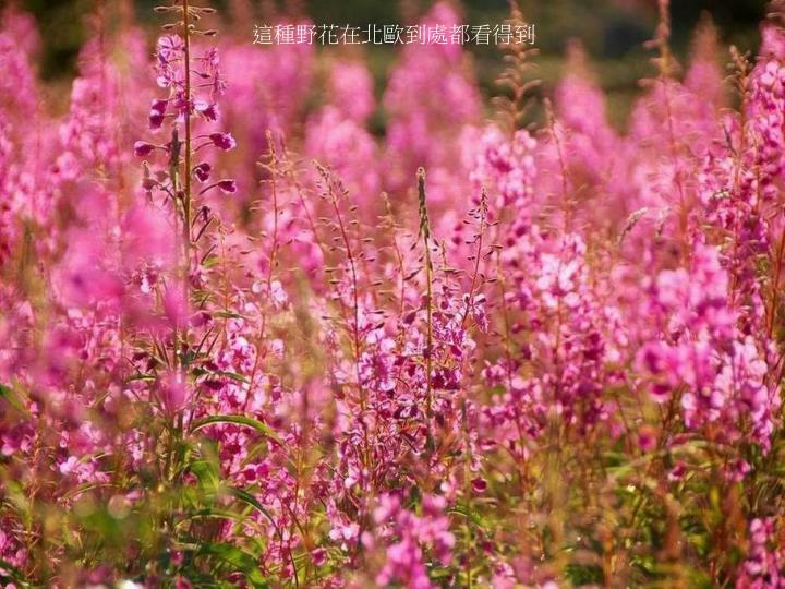 這種野花在北歐到處都看得到