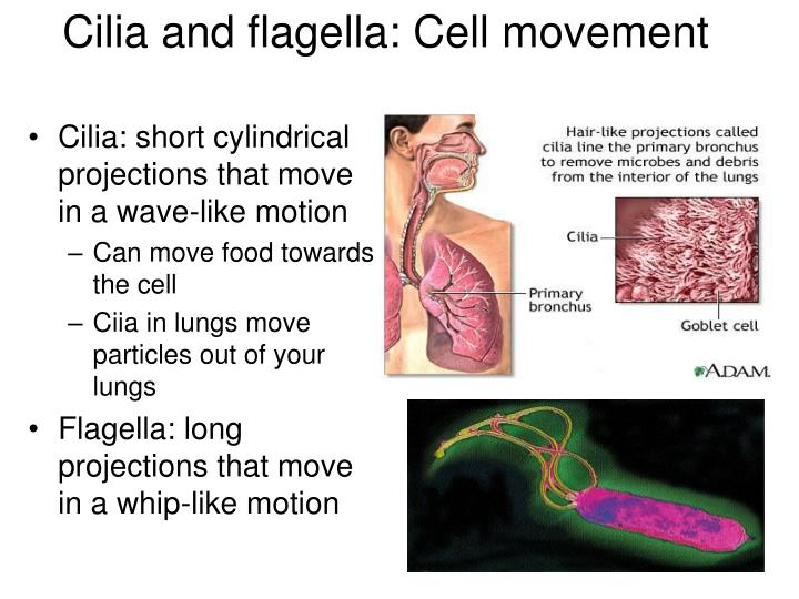 Cilia and flagella: Cell movement