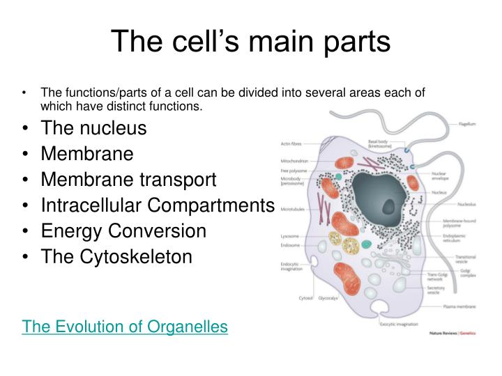 The cell's main parts