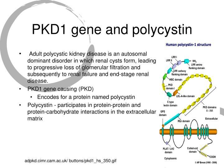 PKD1 gene and polycystin