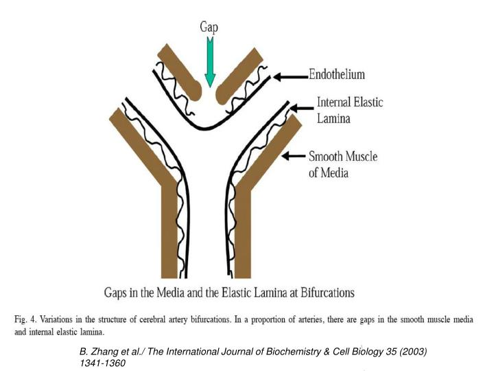 B. Zhang et al./ The International Journal of Biochemistry & Cell Biology 35 (2003) 1341-1360