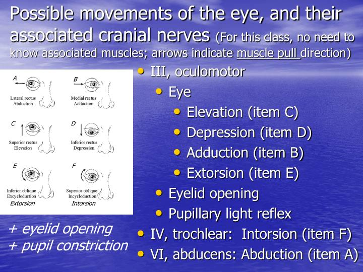Possible movements of the eye, and their associated cranial nerves