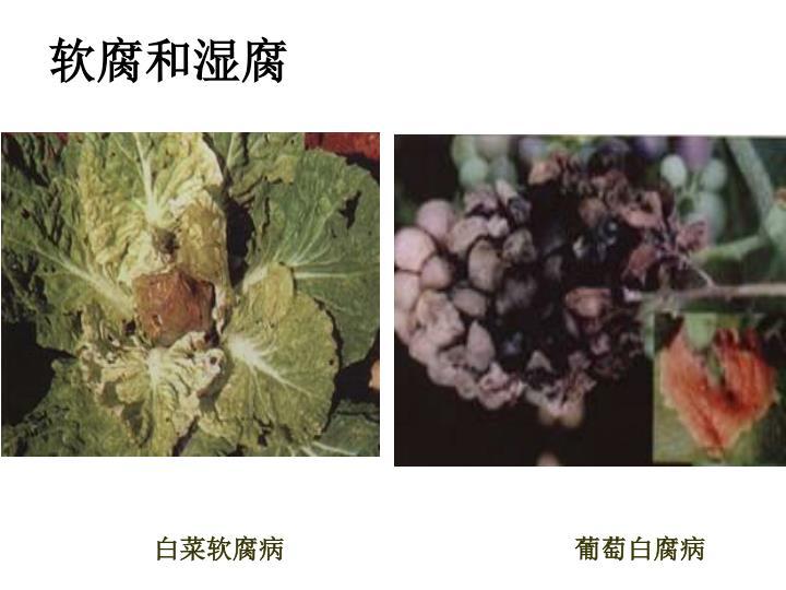 软腐和湿腐