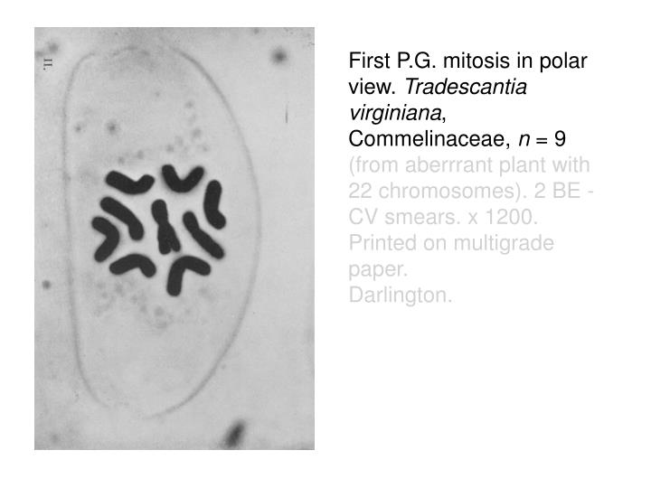 First P.G. mitosis in polar view.