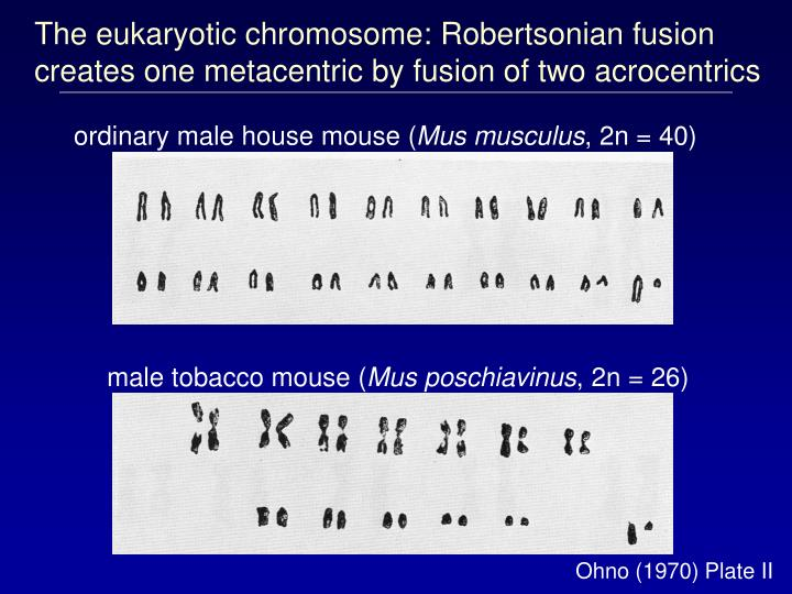 The eukaryotic chromosome: Robertsonian fusion