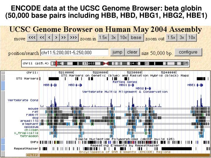 ENCODE data at the UCSC Genome Browser: beta globin