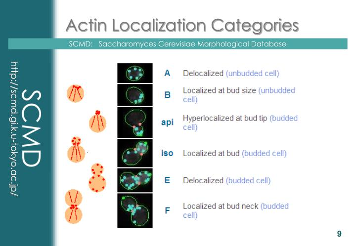 Actin Localization Categories