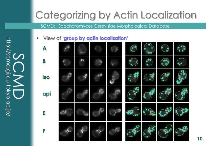Categorizing by Actin Localization