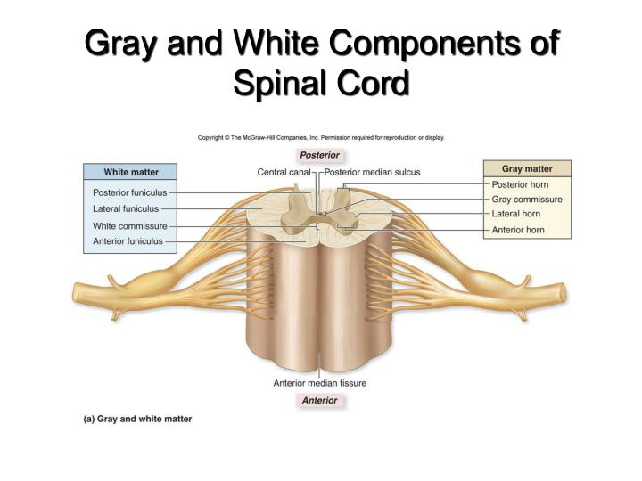 Gray and White Components of Spinal Cord