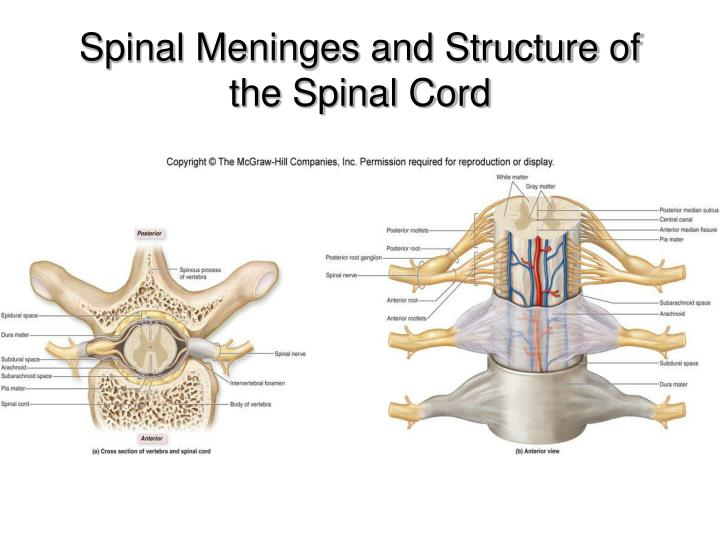 Spinal Meninges and Structure of the Spinal Cord