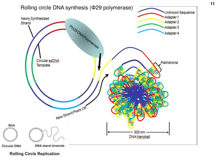 Rolling circle DNA synthesis (