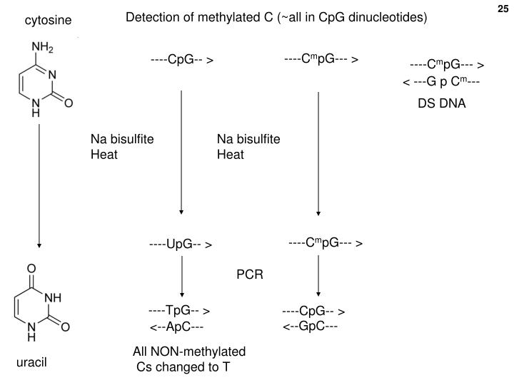 Detection of methylated C (~all in CpG dinucleotides)