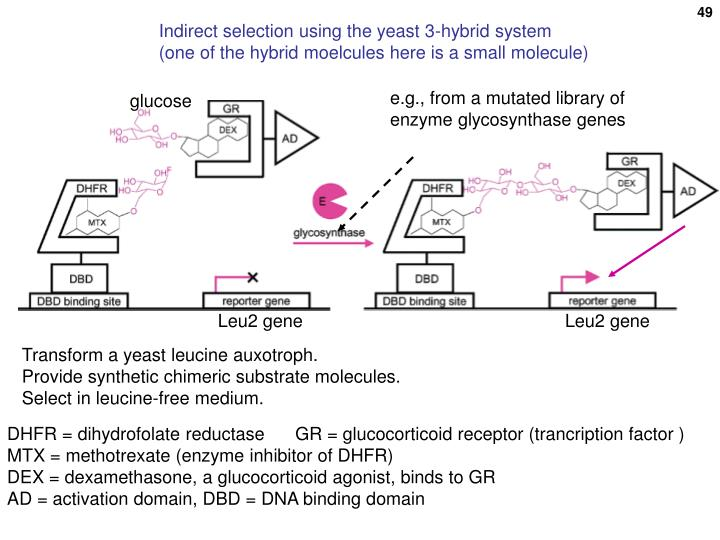 Indirect selection using the yeast 3-hybrid system