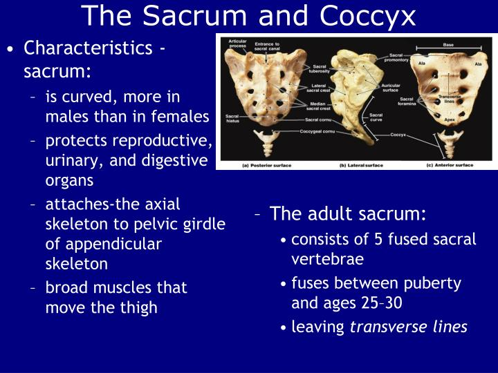 The Sacrum and Coccyx