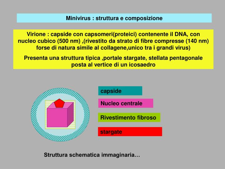 Minivirus : struttura e composizione