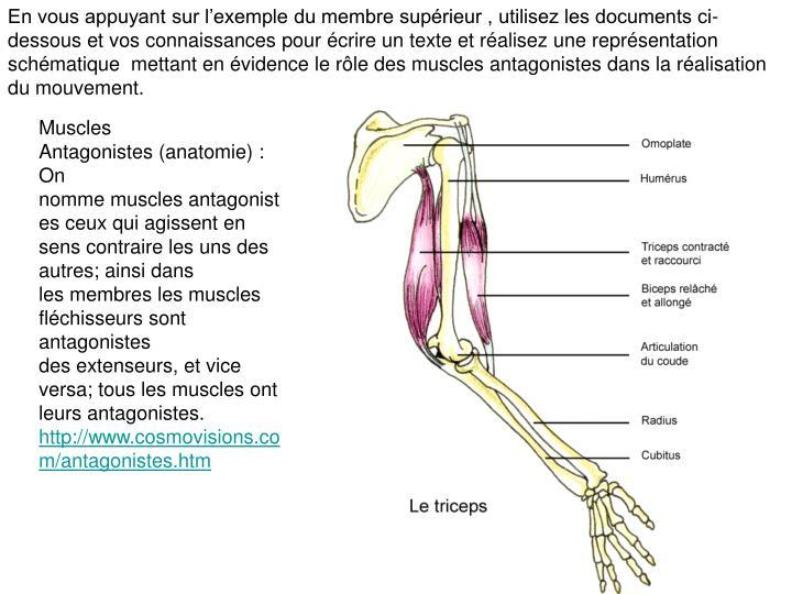 En vous appuyant sur l'exemple du membre supérieur , utilisez les documents ci-dessous et vos connaissances pour écrire un texte et réalisez une représentation schématique  mettant en évidence le rôle des muscles antagonistes dans la réalisation du mouvement.