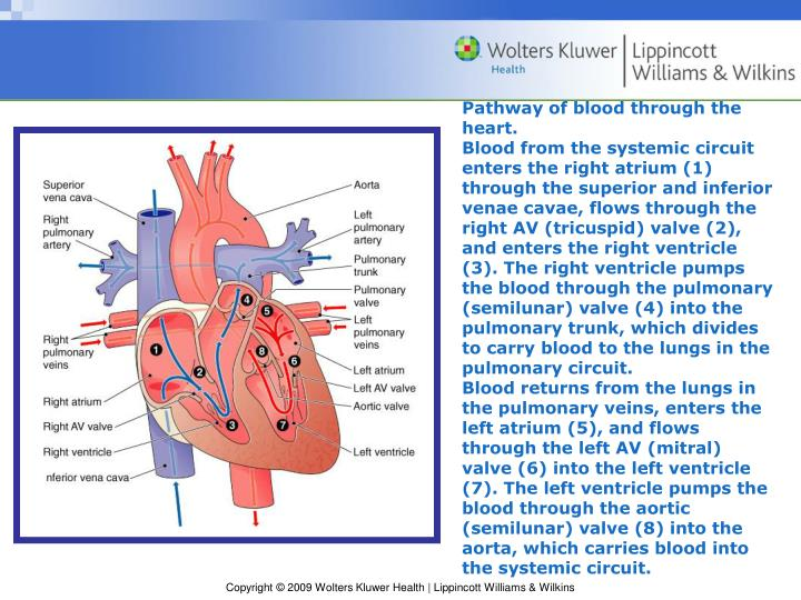 Pathway of blood through the heart.