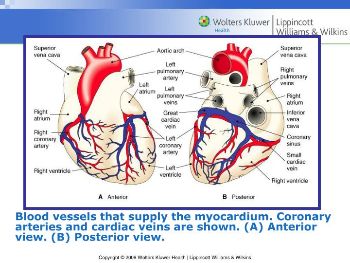 Blood vessels that supply the myocardium. Coronary arteries and cardiac veins are shown. (A) Anterior view. (B) Posterior view.