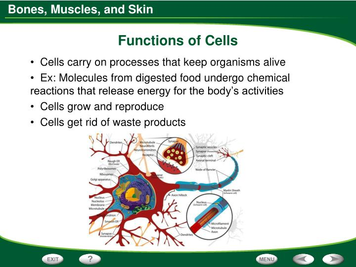 Functions of Cells