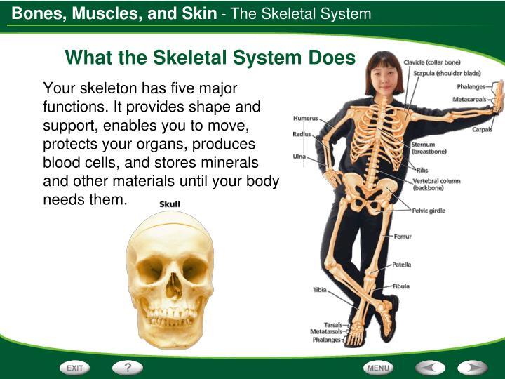 - The Skeletal System