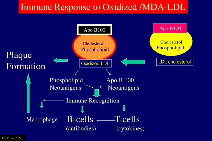 Immune Response to Oxidized /MDA-LDL