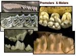premolars molars1