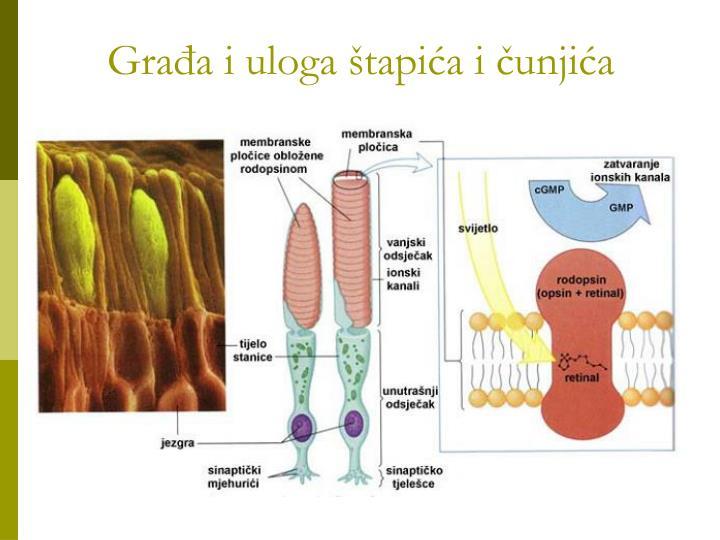 Građa i uloga štapića i čunjića