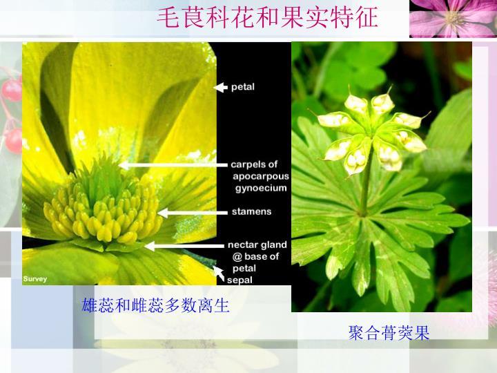 毛茛科花和果实特征