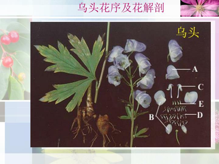 乌头花序及花解剖