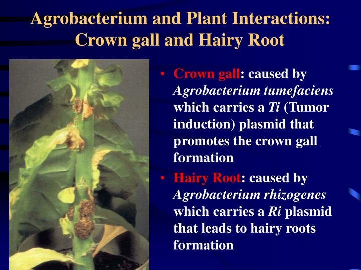 Agrobacterium and Plant Interactions: Crown gall and Hairy Root