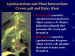 agrobacterium and plant interactions crown gall and hairy root