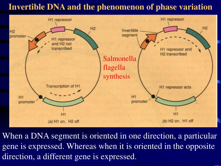 Invertible DNA and the phenomenon of phase variation