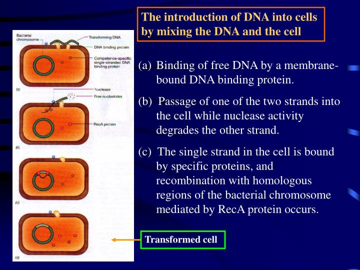 The introduction of DNA into cells by mixing the DNA and the cell