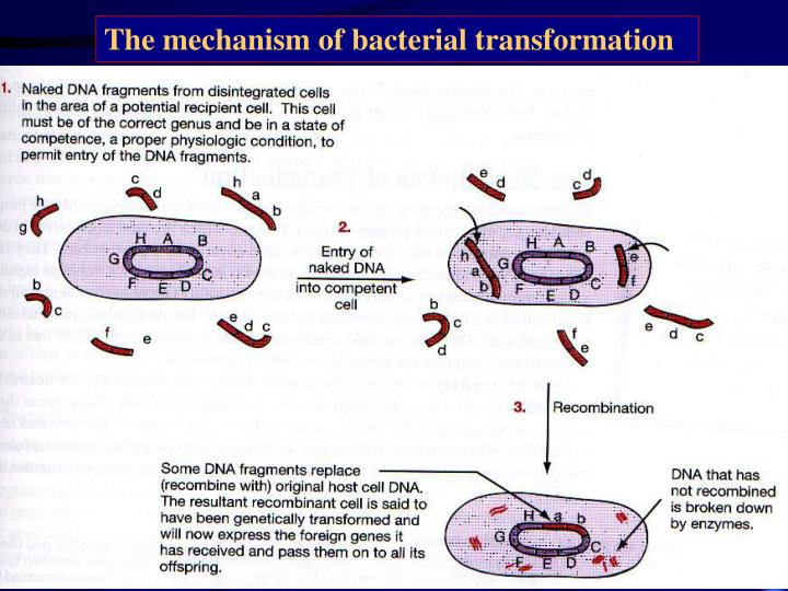 The mechanism of bacterial transformation