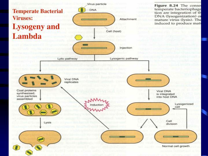 Temperate Bacterial