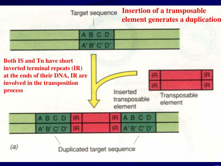 Insertion of a transposable