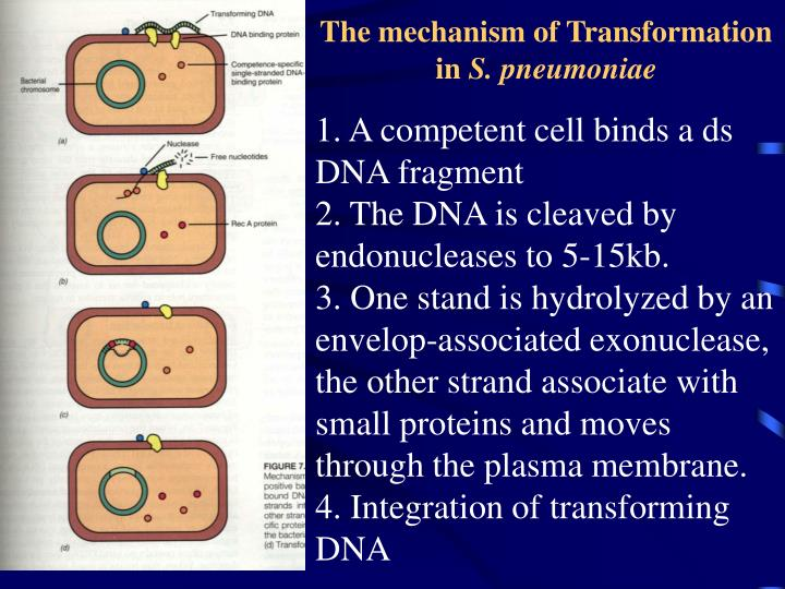 The mechanism of Transformation