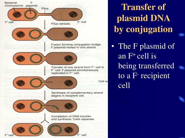 Transfer of plasmid DNA by conjugation