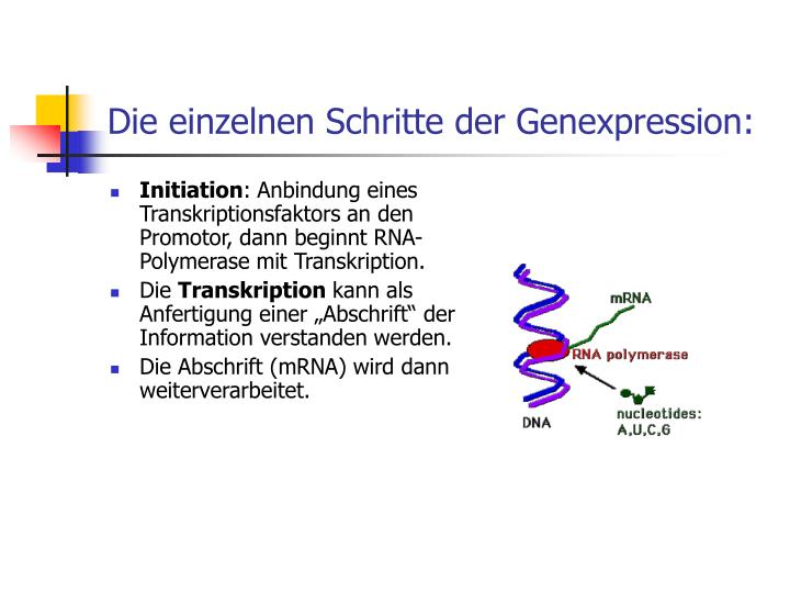 Die einzelnen Schritte der Genexpression: