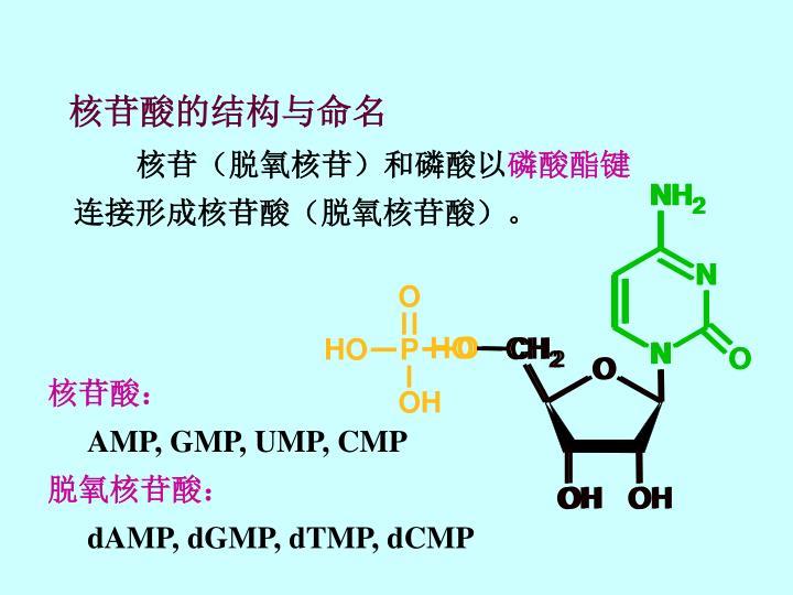 核苷酸的结构与命名