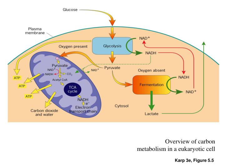 Overview of carbon metabolism in a eukaryotic cell