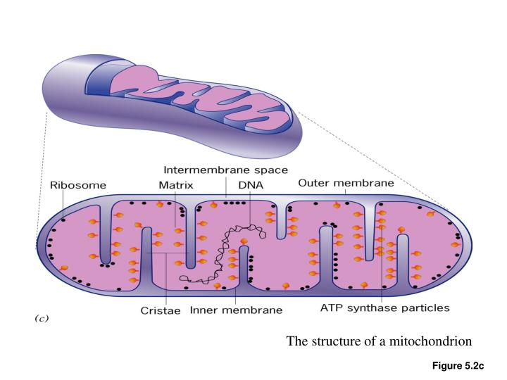The structure of a mitochondrion